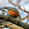 American Robin cleaning its beak