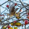 Cedar Waxwing takes flight