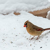 cardinal gathering seed in the snow