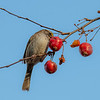 Sparrow eating crab apples