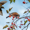 Starling and an American Robin at a Crab Apple Tree
