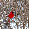 Cardinal seeking shelter from the snow