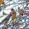 Cedar Waxwings in crab apple tree