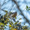 Mockingbird in a Wild Privet bush