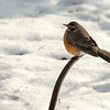 A Robin in the snow, St Louis, Missouri, USA