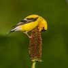 A Goldfinch, Forest Park, St Louis