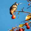 House Finch eating crab apples