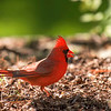 Red Cardinal, St Louis, Missouri, USA