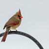 Cardinal surveys the snow field