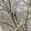 Downey Woodpecker looking at the snow