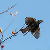 Starling takes flight