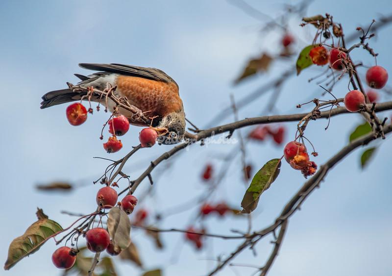 American Robin eating crab apples