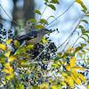 Mockingbird eating Wild Privet berries