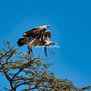 White-backed Vulture, Maasai Mara, Kenya, Africa