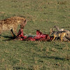 White-backed Vulture sharing the spoils with a Hyena and Jackal, Maasai Mara, Kenya Africa