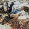 Turkey Vulture competing with Striated Caracara's on a seal carcass, The Neck, Saunders Island, Falkland Islands, South Atlantic Ocean