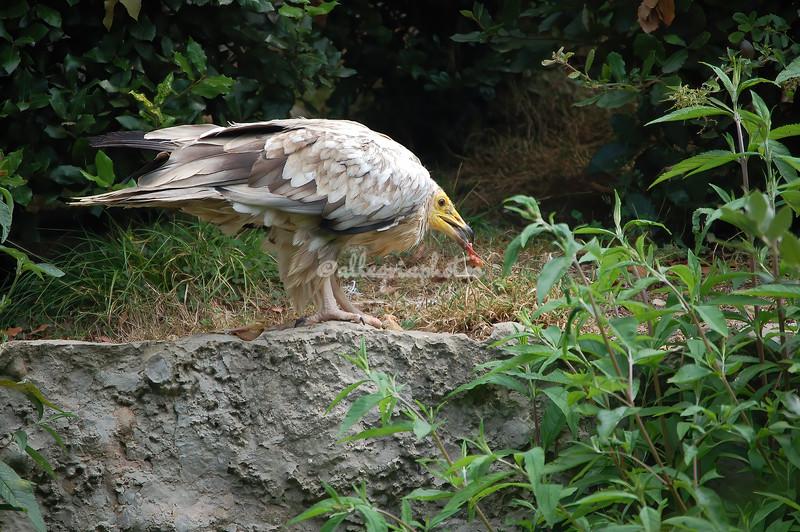 Egyptian Vulture,