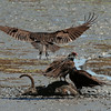Turkey Vultures on an Elk carcass, Point Reyes, California, USA