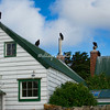 Turkey Vultures, West Point Island, Falkland Islands, South Atlantic Ocean