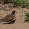 Turkey Vulture, Point Reyes, California, USA