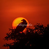 White-backed Vulture silhouetted against setting sun, Maasai Mara, Kenya, Africa