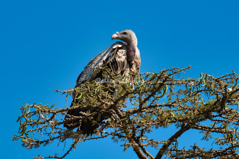 White-backed Vulture, Maasai Mara, Kenya, Africa.
