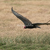 Turkey Vulture, Pebble Island, Falkland Islands, South Atlantic Ocean