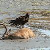 Turkey Vulture on an Elk carcass, Point Reyes, California, USA