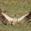 White-backed Vulture spreading it's wings, Maasai Mara, Kenya, Africa