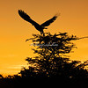 White-backed Vulture at sunset,  Maasai Mara, Kenya, Africa