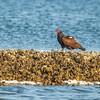 Turkey Vulture, Tarpon bay, Sanibel Island, Florida, USA