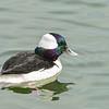 Bufflehead Goose, Reservoir, Central Park, New York, City