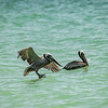 Brown Pelicans on the ocean, Captiva Island, Florida, USA