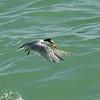 Least Tern fishing, Captiva Island, Florida, USA