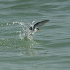 Least Tern fishing off Captiva island, Florida