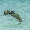 Brown Pelican landing on the ocean, Captiva Island, Florida, USA