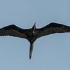 Frigate Bird, Captiva Island, Florida, USA