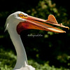 A white pelican with its beak knob, St. Louis Zoo