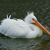 White pelican in breeding season with a large bump on its bill. The bill will disappear at the end of mating season