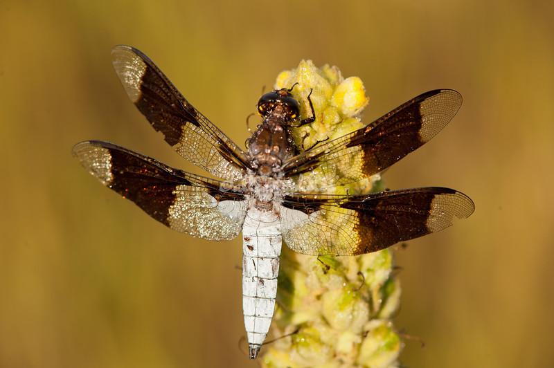Dragonfly in a bog, Upper Peninsula, Michigan
