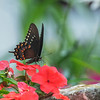 Black Swallowtail Butterfly, St Louis, Missouri, USA