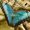 Common Blue Morpho butterfly, St Louis Botanical Garden Butterfly House