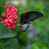 Butterfly on Red flower, St Louis Missouri Botanical Garden Butterfly House