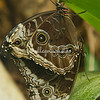 Owl Butterfly, Botanical Garden Butterfly House, St. Louis