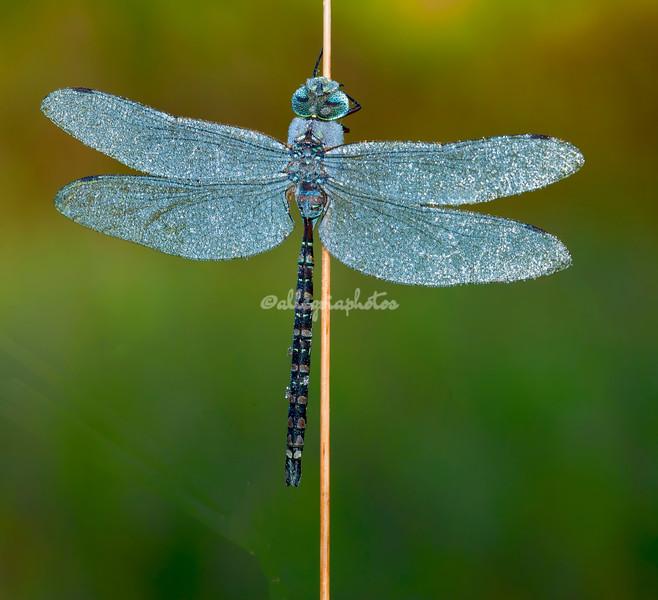 A dew-covered blue darner dragonfly, Upper Peninsula, Michigan