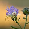 Tiny crab spider on purple flower, Upper Peninsula, Michigan