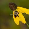 Bumblebee on cone flower, Upper Peninsula, Michigan