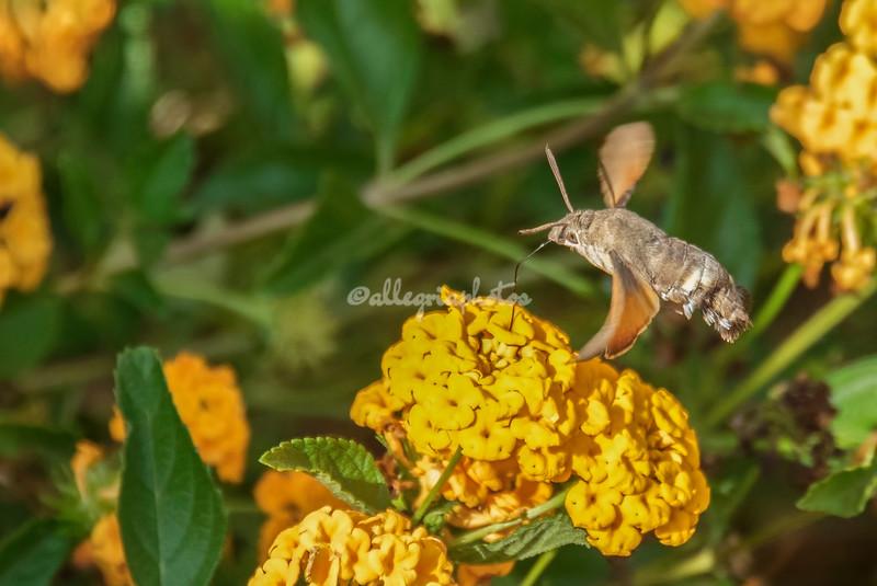 Hummingbird Hawk Moth, Puglia, Italy