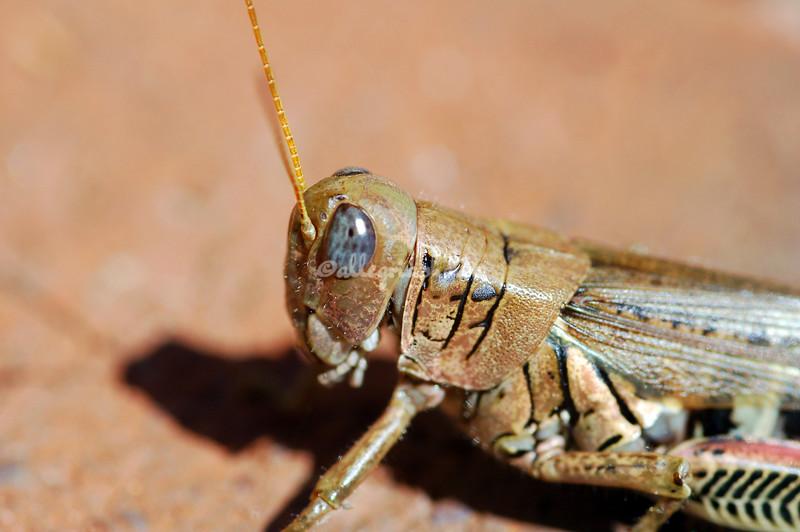 Grasshopper eye