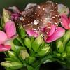 Maranon Poison Dart Frog